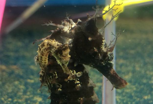 AP Aquaculture Seahorses